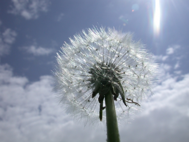 dandelion_flower_silhouette_281444_h